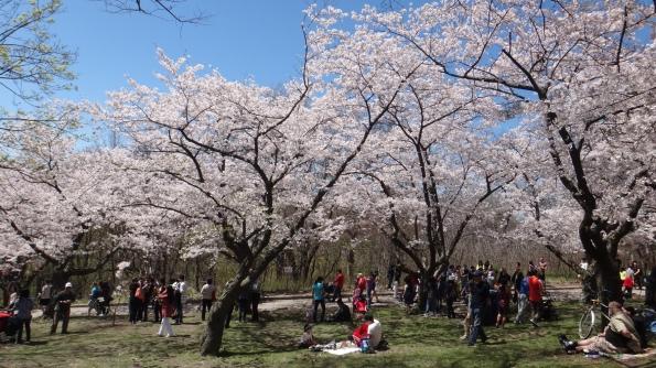 Sakuras lotados