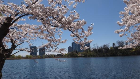 Sakura e o lago